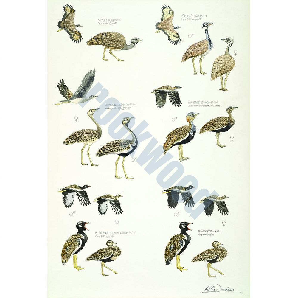 African Bustards, Plate no.2
