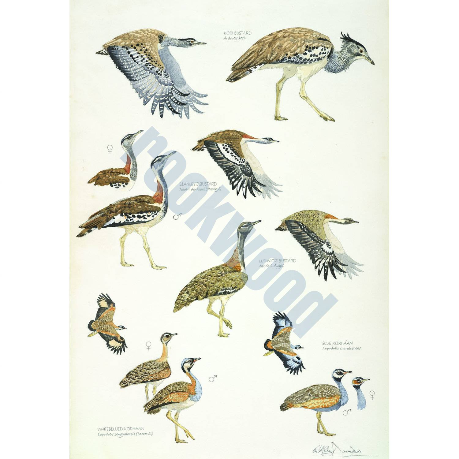 African Bustards, Plate no.1