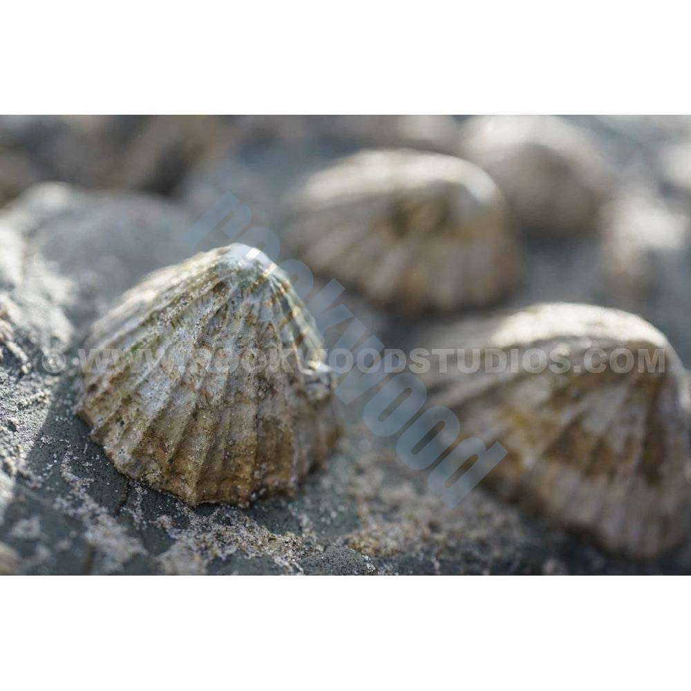 Among limpets