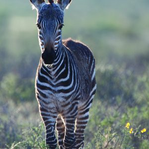 baby mountain zebra