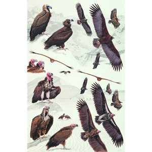 Cinereous Vulture, Black Vulture, Lappet-faced Vulture