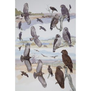 Brown, Southern & Western Banded Snake Eagles, African raptors plate no. 13
