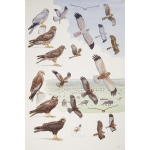 Hen Harrier, Marsh Harrier