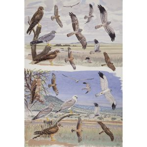 Montagu's Harrier, Pallid Harrier