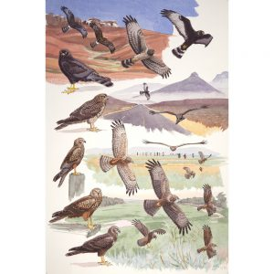 Black Harrier, African Marsh Harrier