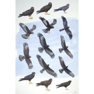 dark morph harriers