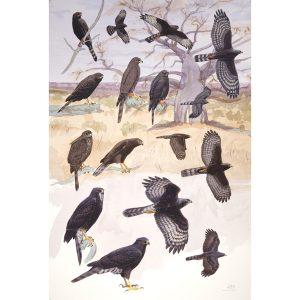 dark morph accipiters, Gabar Goshawk, Ovambo Sparrowhawk, African Goshawk, Black Sparrowhawk