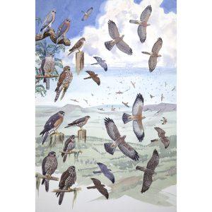 Shikra, Levant Sparrowhawk