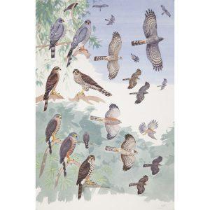 Ovambo sparrowhawk, Chestnut-flanked Sparrowhawk