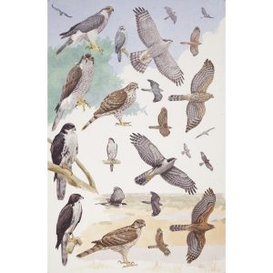 Northern Goshawk, Black Sparrowhawk