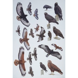 Augur Buzzard, Steppe Buzzard, Long-legged Buzzard, dark morph buzzard, rufous buzzard
