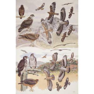 Bonelli's Eagle, African Hawk Eagle