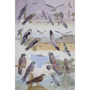 Blackshouldered Kite, Scissor-tailed Kite, African Cuckoo-hawk