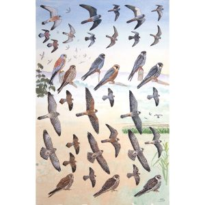 Red-footed Falcon, Amur Falcon, Lesser Kestrel