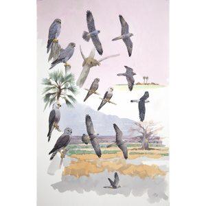 Grey Kestrel, Dickinson's Kestrel