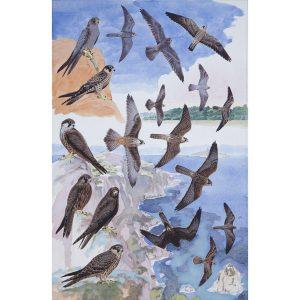 Sooty Falcon, Eleonora's Falcon