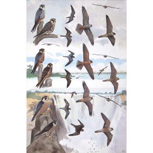 Eurasian Hobby, African Hobby, Taita Falcon