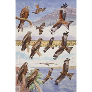 Red Kite, Black Kite, Yellow-billed Kite