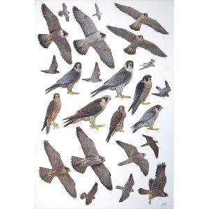 Peregrine Falcon, Barbary Falcon