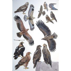 Merlin, Rough-legged Buzzard, Spanish Imperial Eagle, White-tailed Eagle