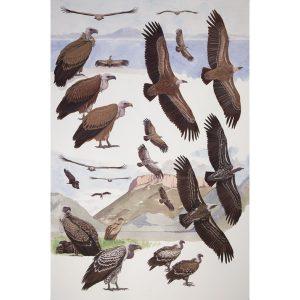 Griffon Vulture, Rueppell's Vulture