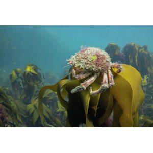 Spider Crabs Throne postcard