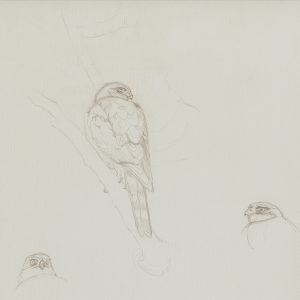 Red-breasted Sparrowhawk sketches